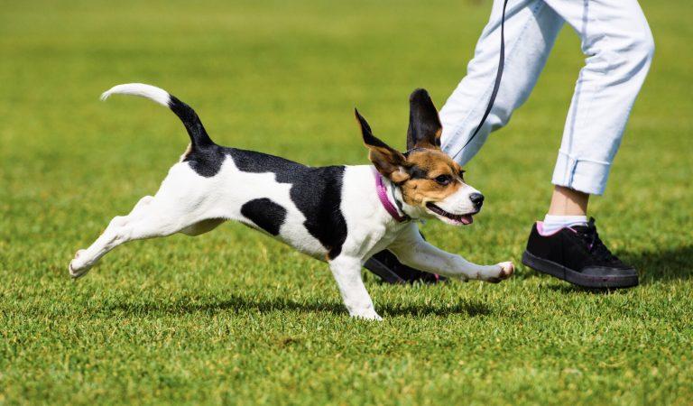 Conheça a Corrida Canina